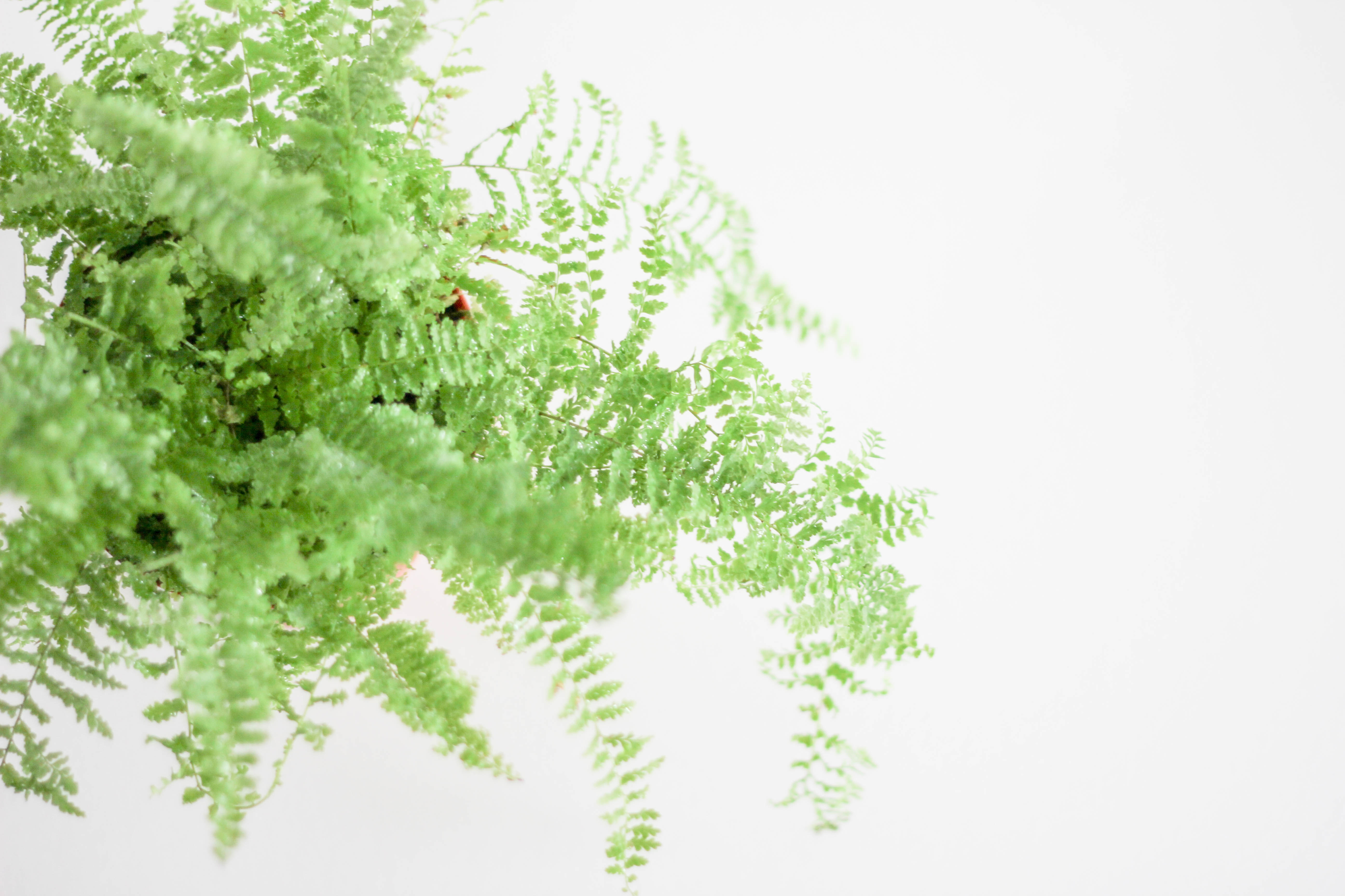 Canva - Green Boston Fern Plant