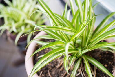 Canva - Green Leaves Of Spider Plant (Chlorophytum comosum)