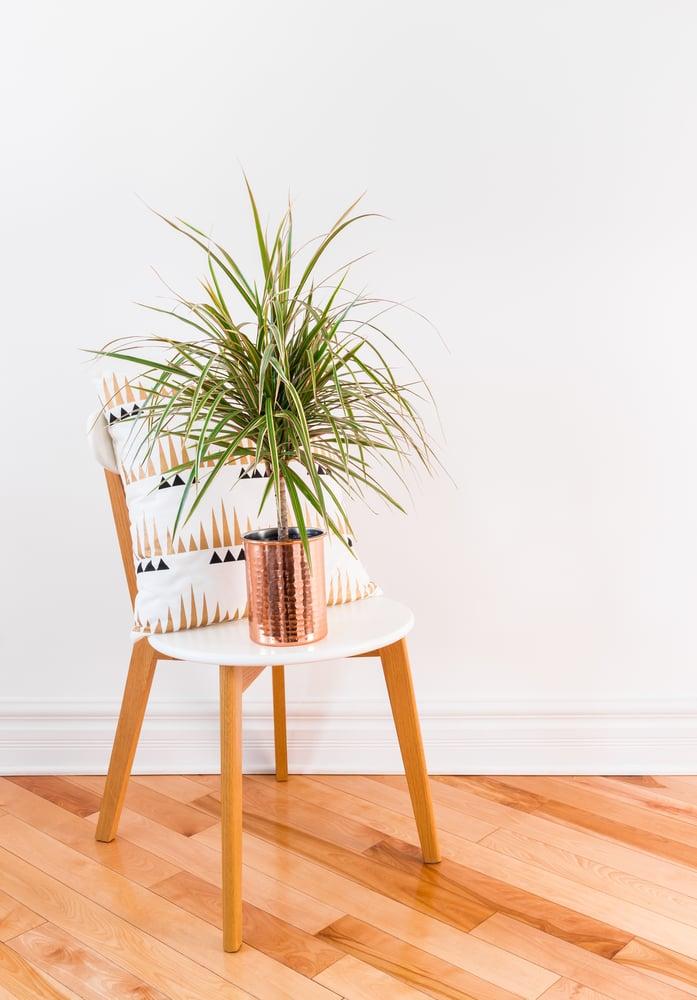 Canva - Madagascar dragon tree on a stylish chair