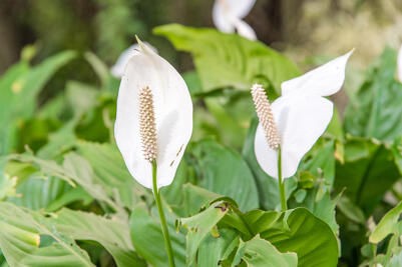 Canva - Peace Lily - Spathiphyllum wallisii