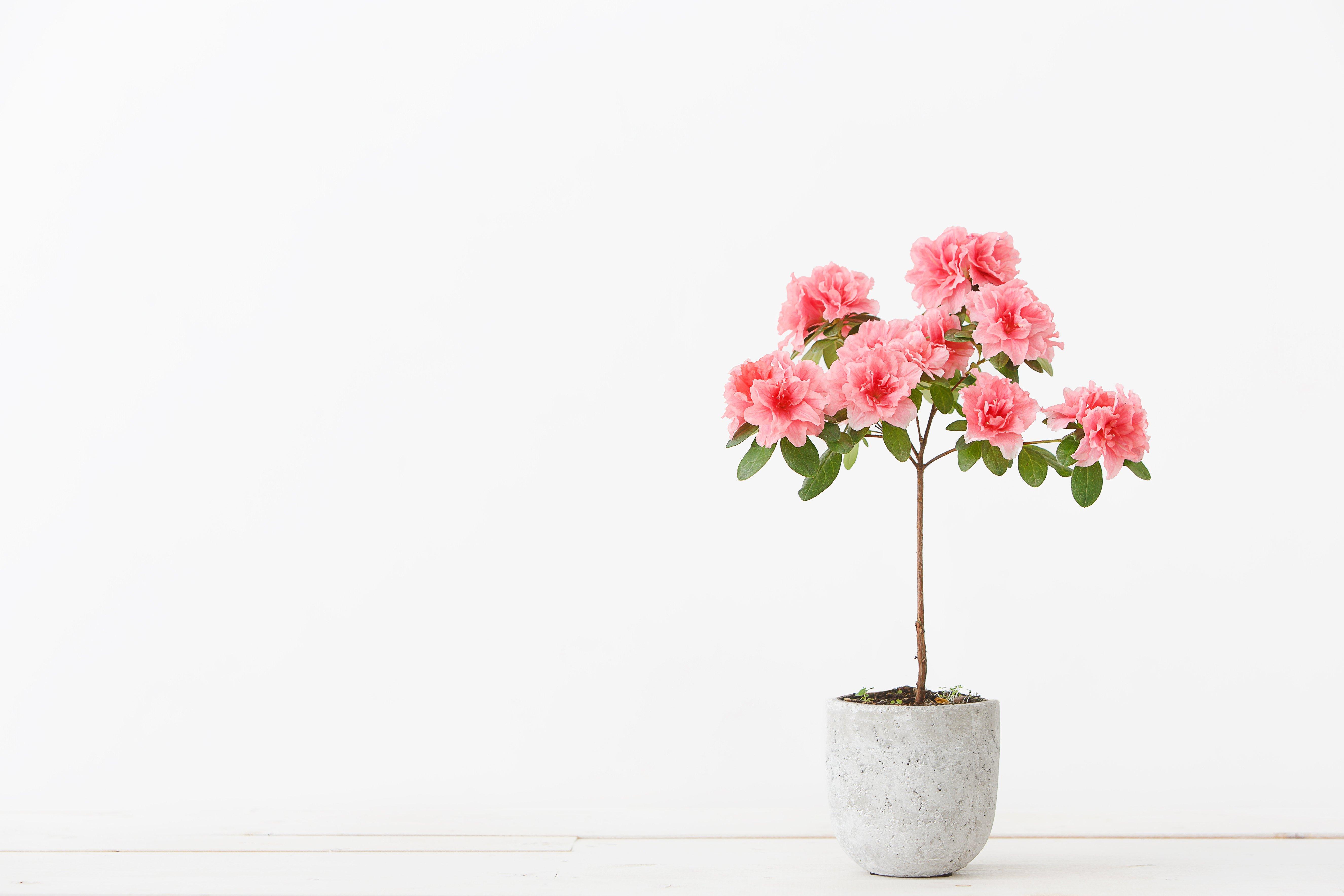 Canva - Pink azalea flower in a concrete pot