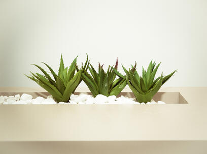 Canva - Three Green Aloe Vera Plants