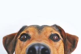 Dog-Face-Eyes-Nose-Only