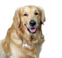 Pet - Dog - Golden Retriever